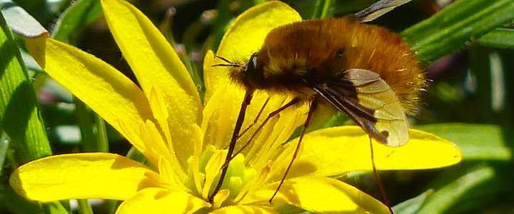 Dark-edged Bee-fly