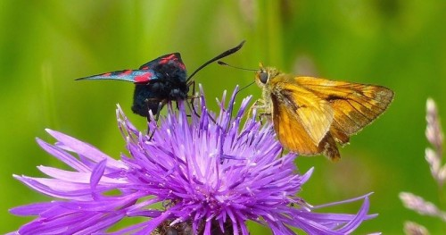 Six Spot Burnet Moth and a Large Skipper Butterfly on Common Knapweed