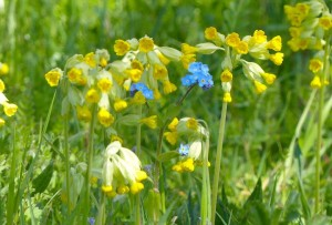 Forget-me-nots and Cowslips