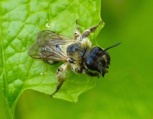 Solitary Bee (Andrena scotica)
