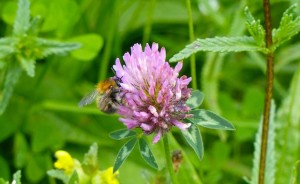 Common Carder Bumblebee on Red Clover