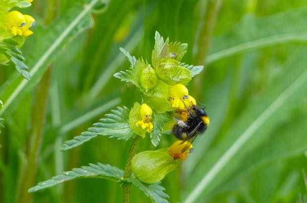 Bumblebee on Yellow Rattle