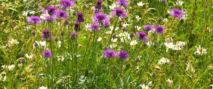 Jo's Mini Meadow 1 – How I Transformed My Lawn Into a Beautiful NearbyWild