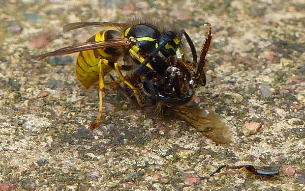 why are wasps and hornets nature s natural pesticides