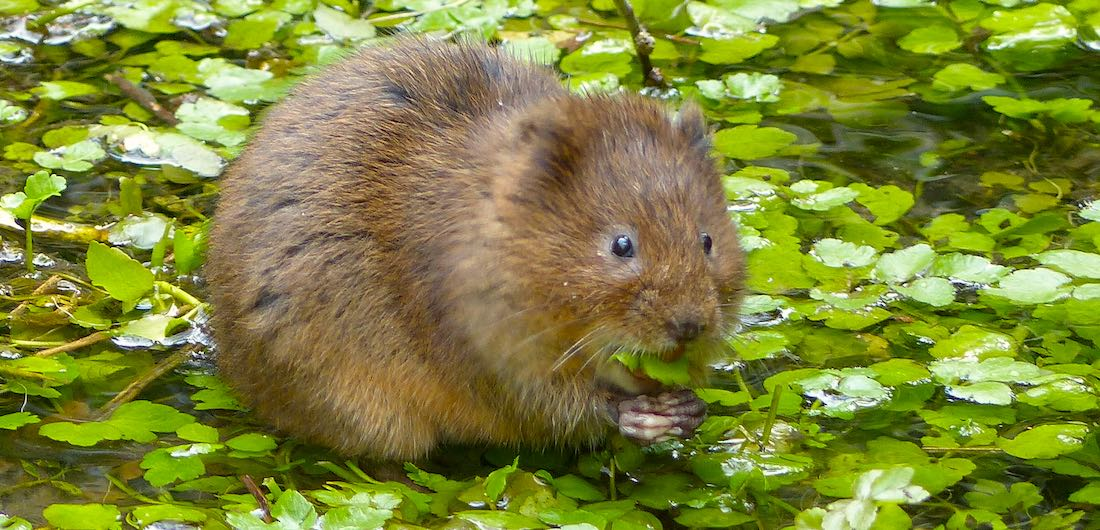 How to Save the Water Vole: A Neighbourly Guide