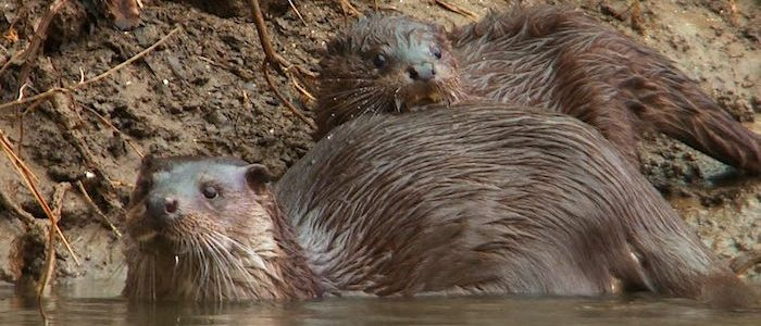 Why an Encounter With an Otter and Cubs in My Local Patch Was Extra Special!