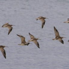 The Importance of Curlews: Dream Big