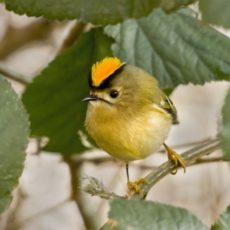How to Rescue a Goldcrest or Any Bird That Hits a Window