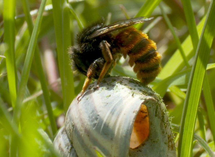 Red-tailed mason bee