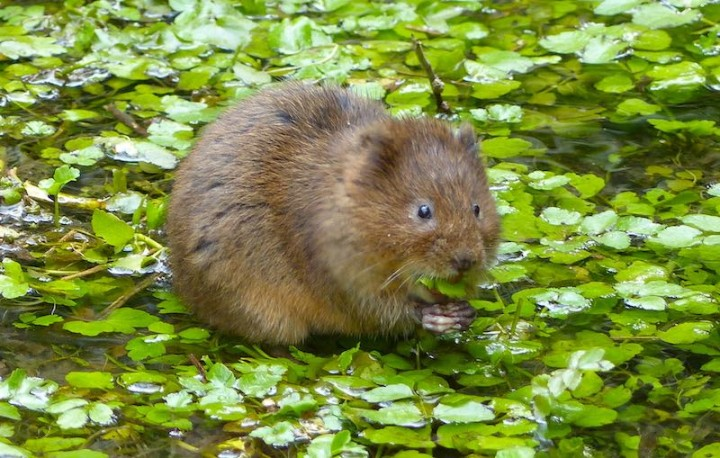 National Water Vole Monitoring Scheme: Anyone Can Take Part