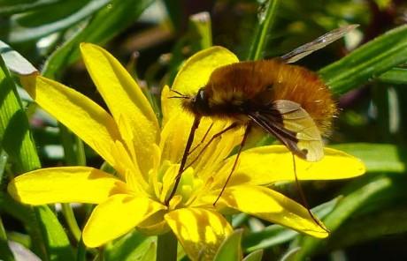 Dark-edged Bee-fly
