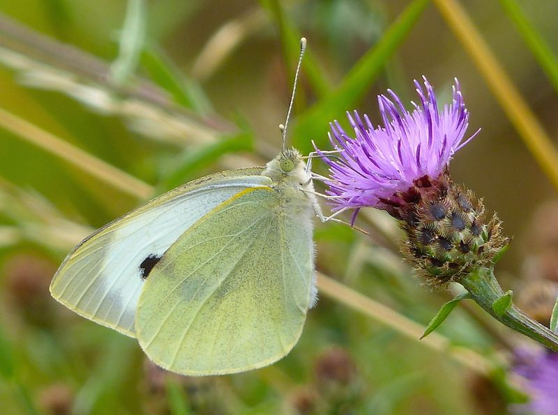 Large White Butterfly on Common Knapweed