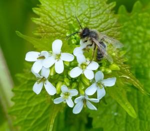 Male Solitary Bee (Andrena haemorrhoa)