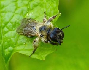 Solitary Bee (Andrena scotica)