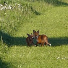 Nearbywild Close Encounters With a Fox Family and Hare
