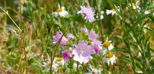 Musk Mallow and Field Scabious