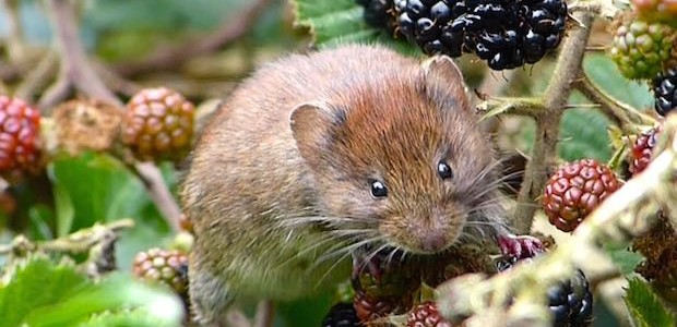 Bank vole in brambles