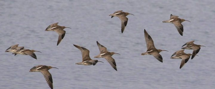 Flock of curlews